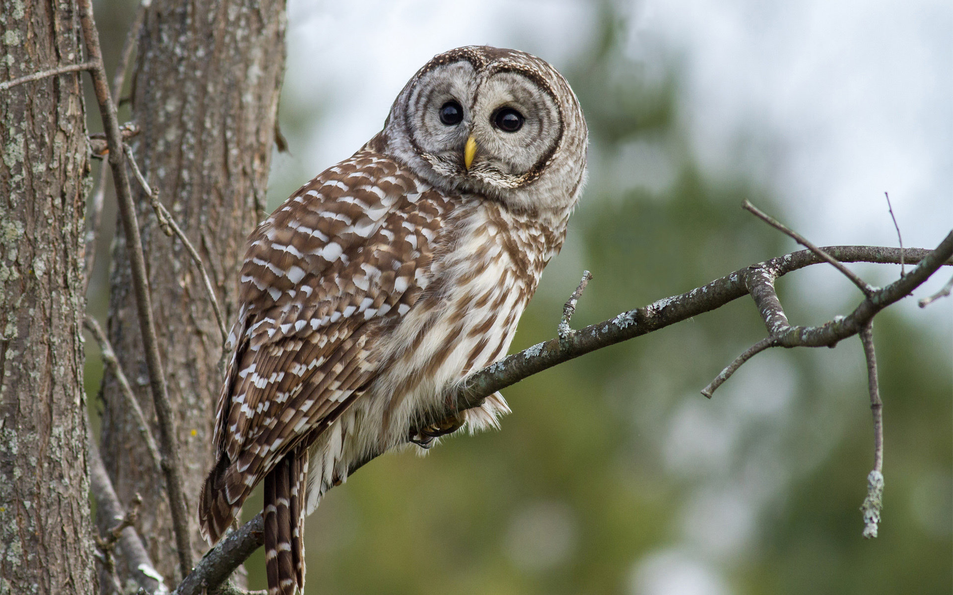 High resolution Barred Owl hd 1920x1200 background ID:91352 for PC