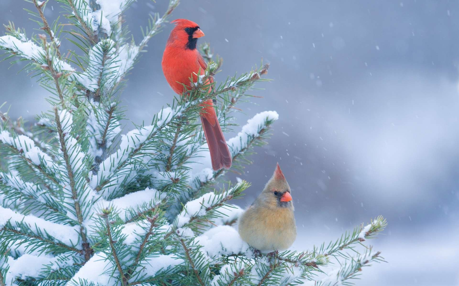 Free download Cardinal background ID:24687 hd 1920x1200 for PC