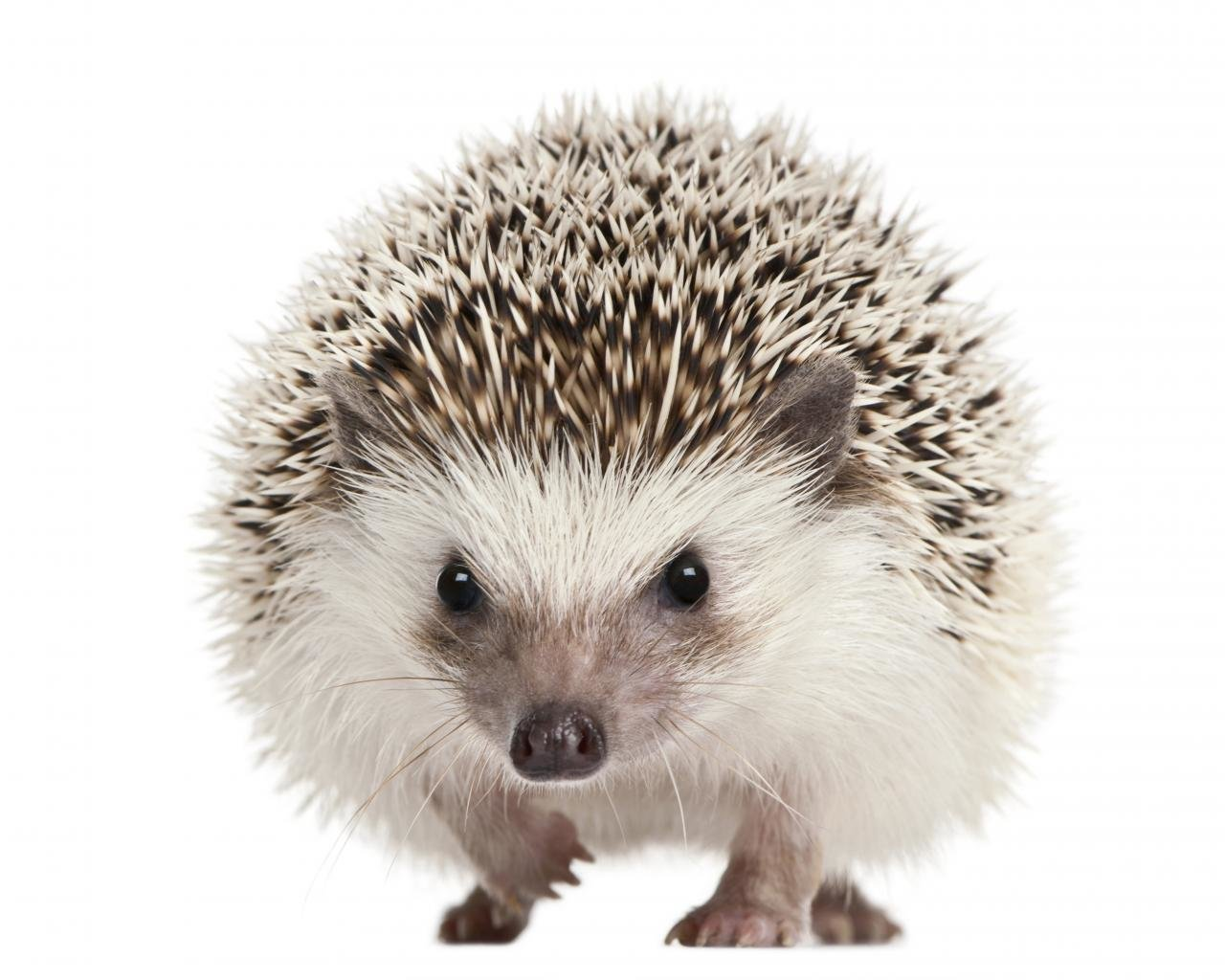 Free Hedgehog high quality background ID:241777 for hd 1280x1024 PC