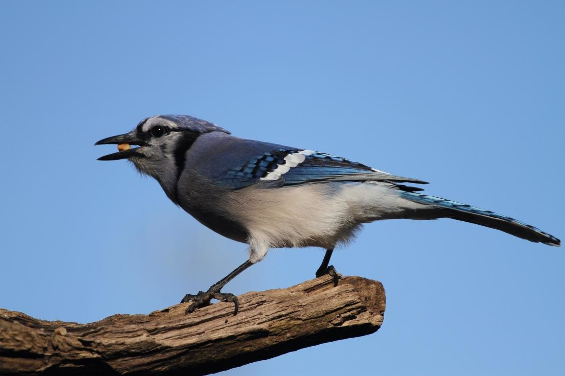 High resolution Blue Jay hd 1152x768 background ID:158396 for computer