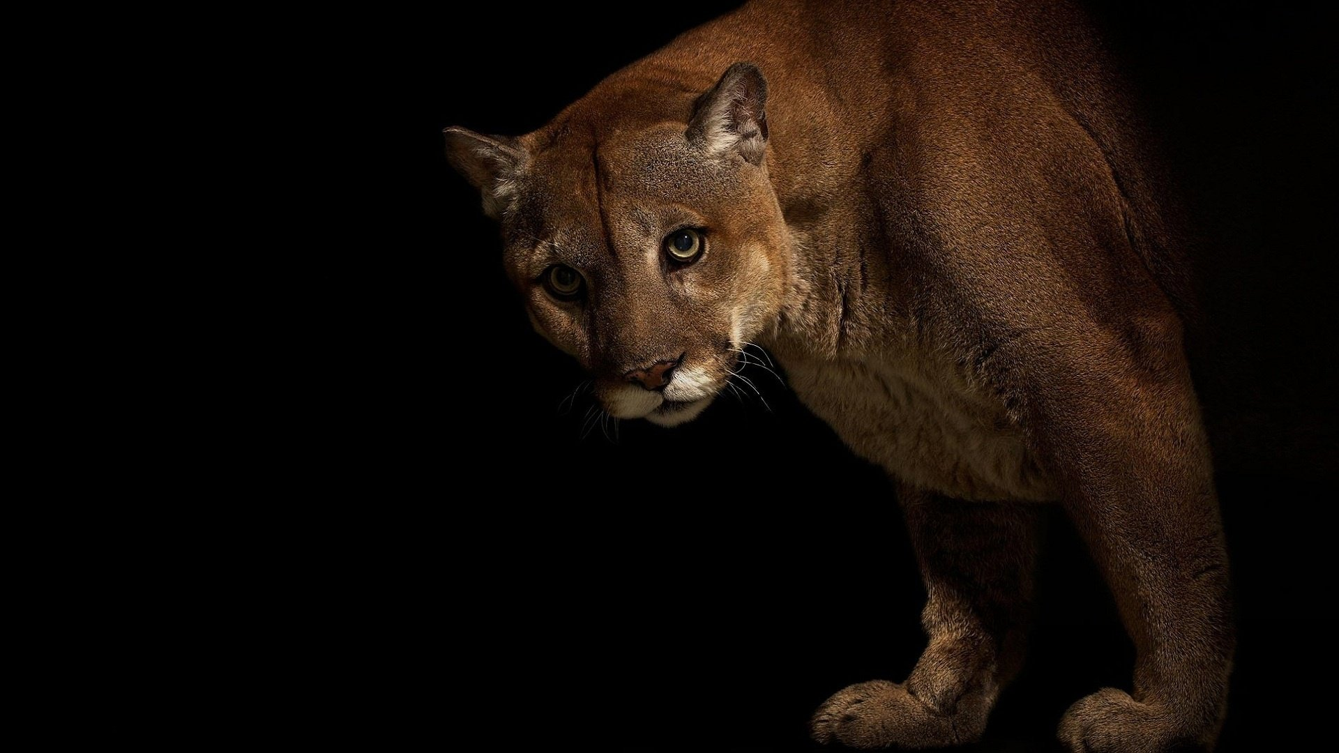 Download full hd 1920x1080 Cougar desktop background ID:81757 for free