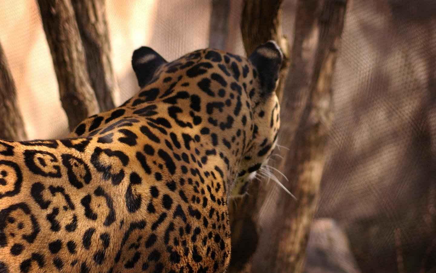 Download hd 1440x900 Jaguar PC background ID:30261 for free