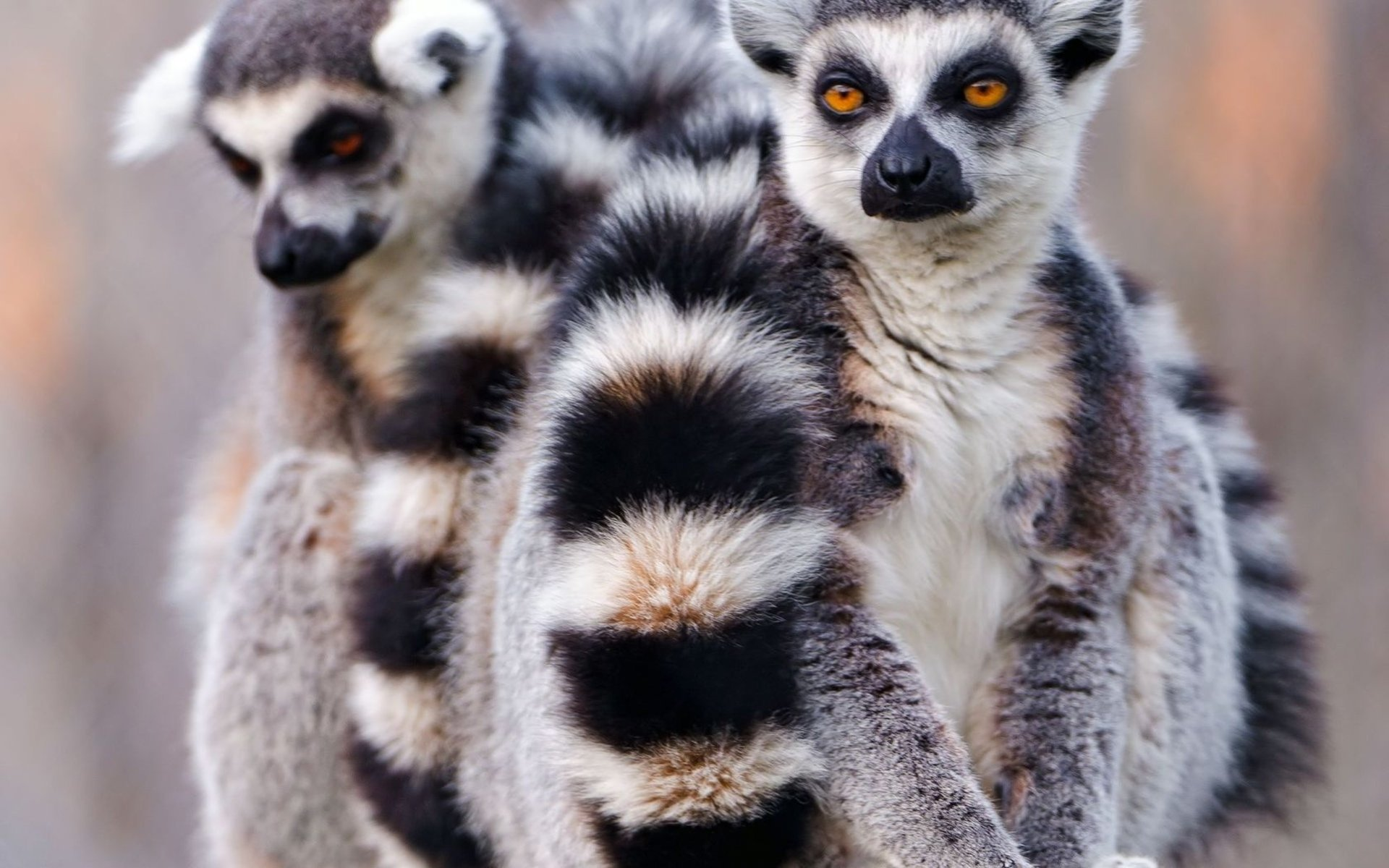Free download Lemur background ID:53178 hd 1920x1200 for PC