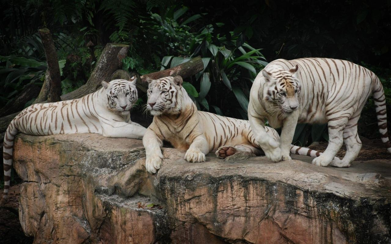 Free White Tiger high quality wallpaper ID:174857 for hd 1280x800 computer