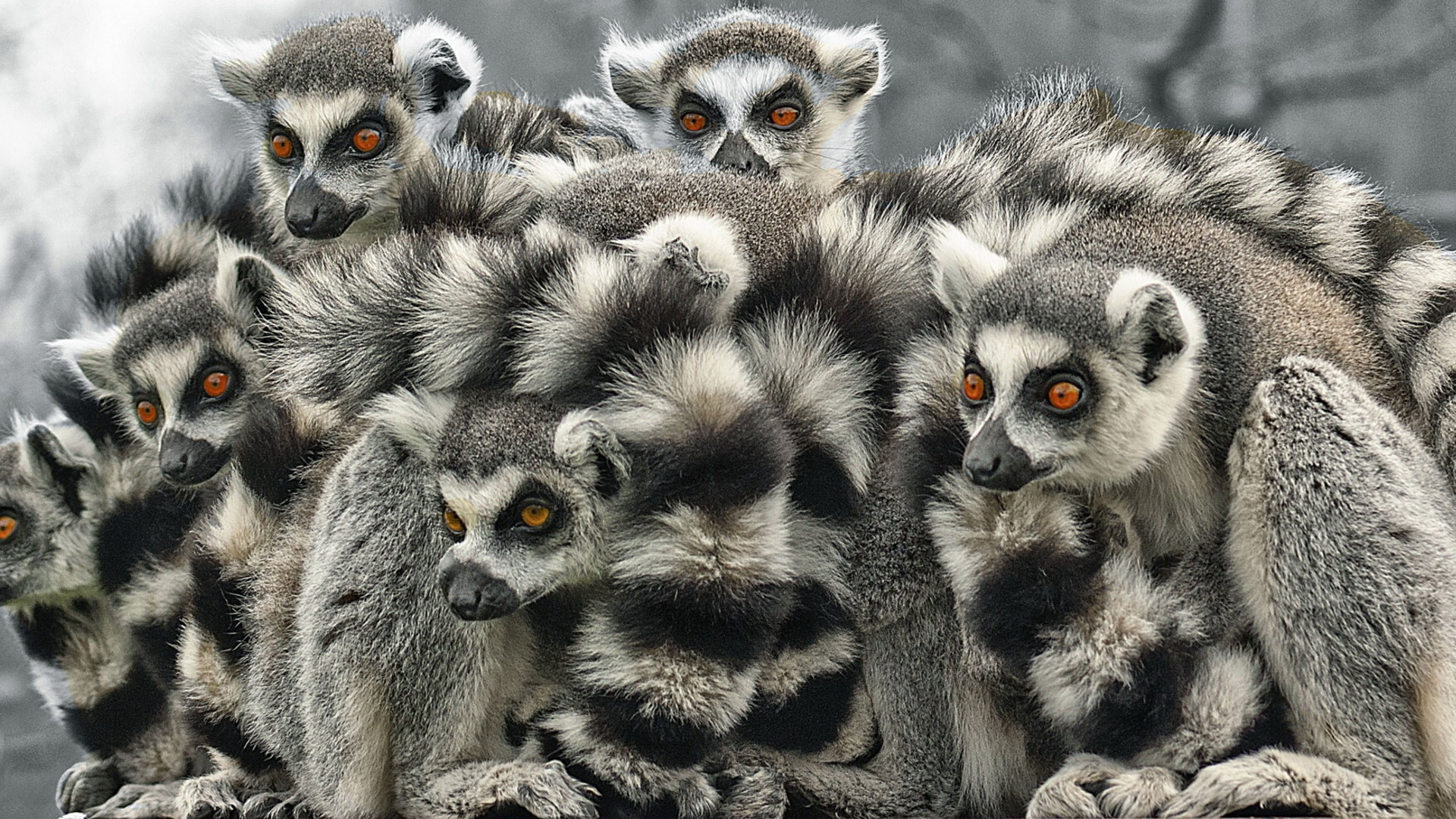 Awesome Lemur free background ID:53151 for full hd 1080p desktop