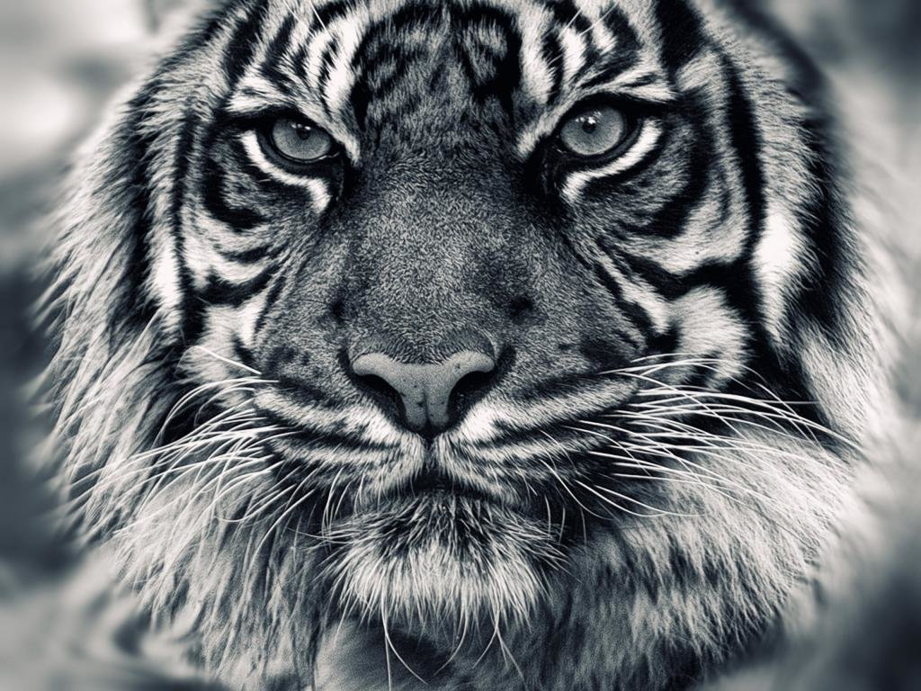 High resolution Tiger hd 1024x768 background ID:116574 for desktop
