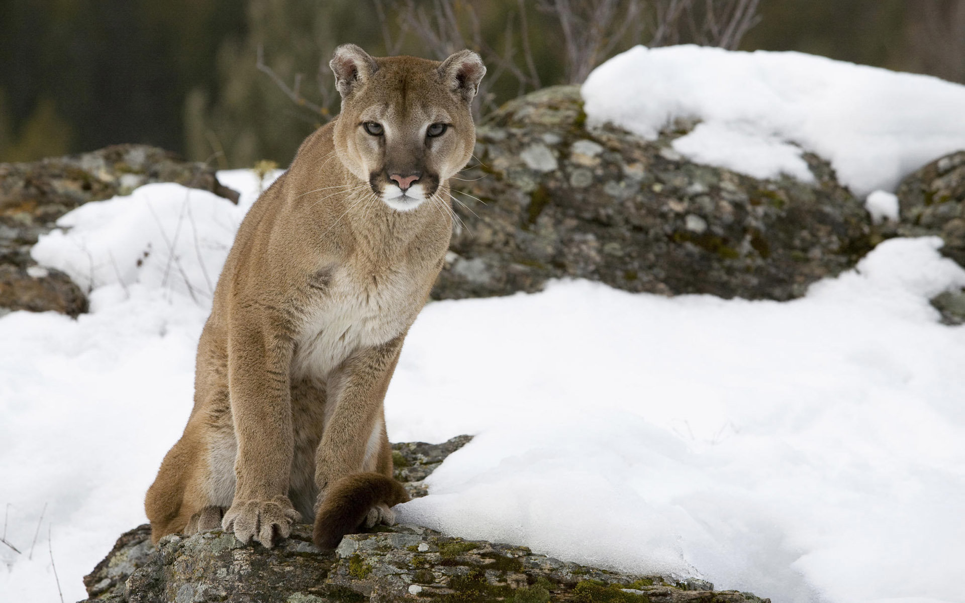 Awesome Cougar free wallpaper ID:81755 for hd 1920x1200 desktop