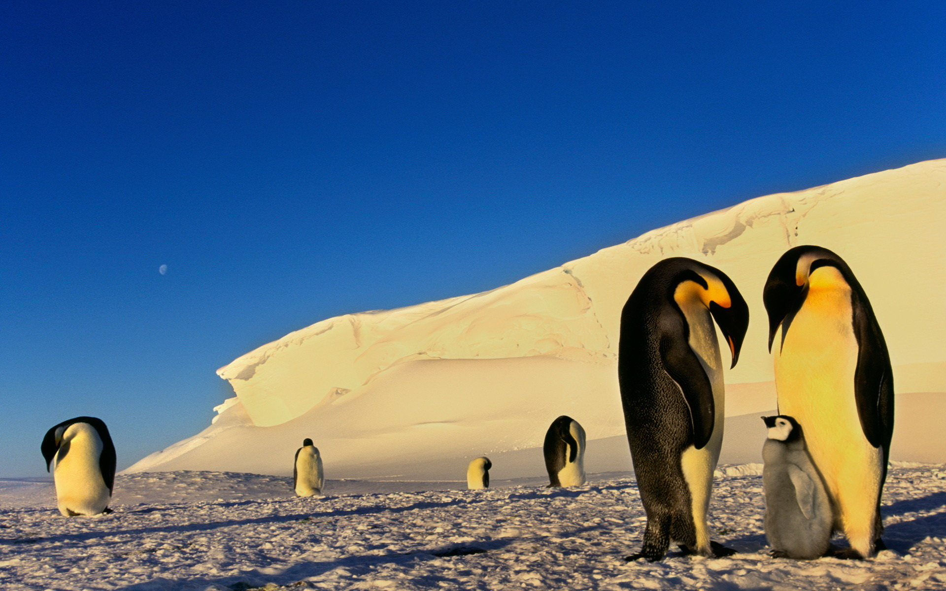 Free download Emperor Penguin background ID:47928 hd 1920x1200 for computer