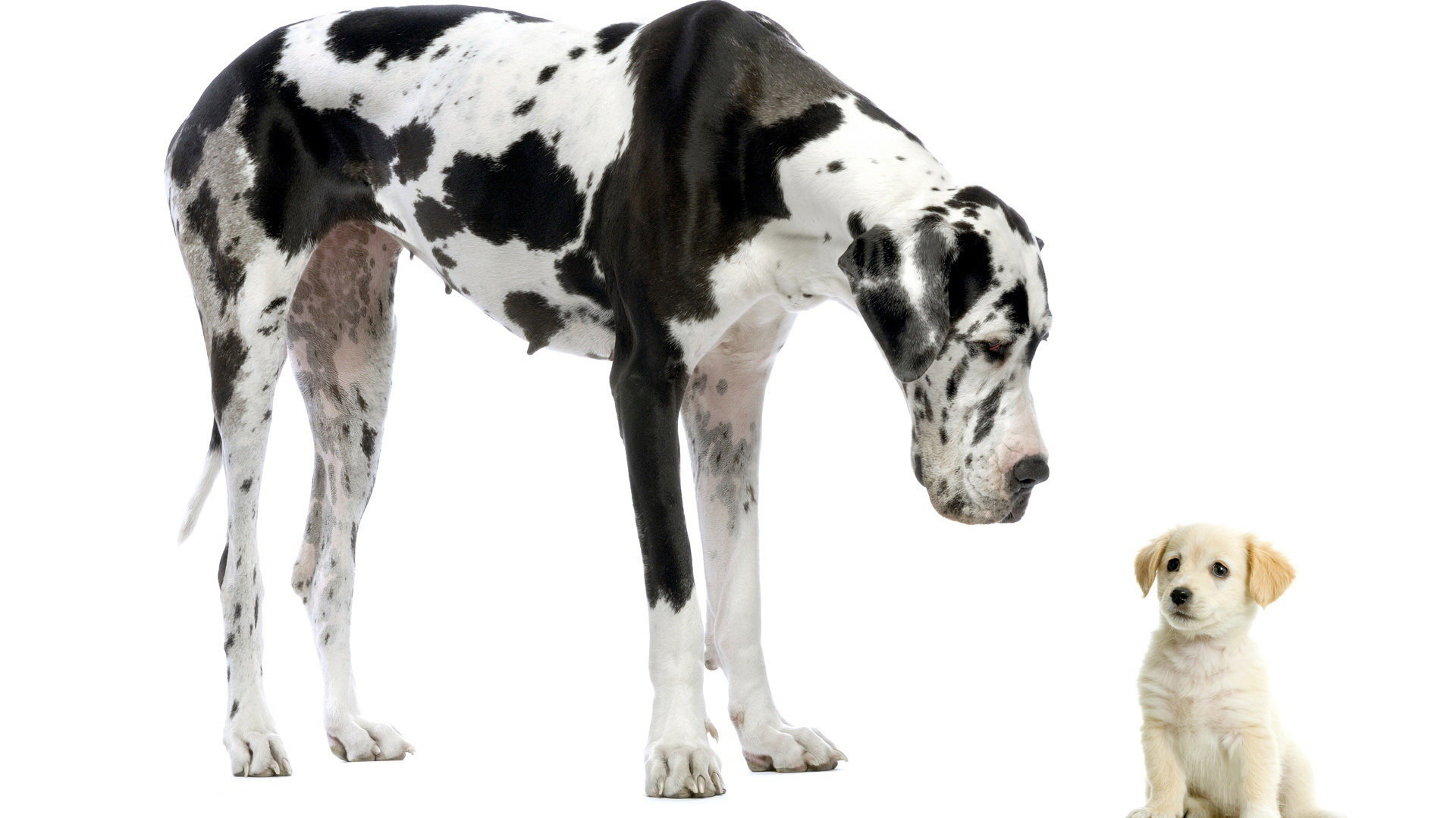 Awesome Great Dane free wallpaper ID:303762 for full hd desktop