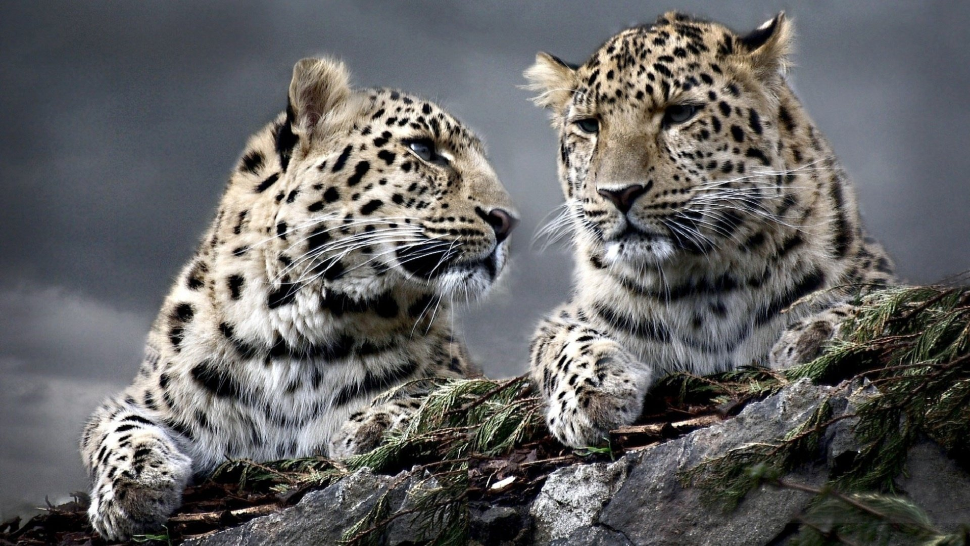 Awesome Leopard free wallpaper ID:448404 for full hd 1080p desktop