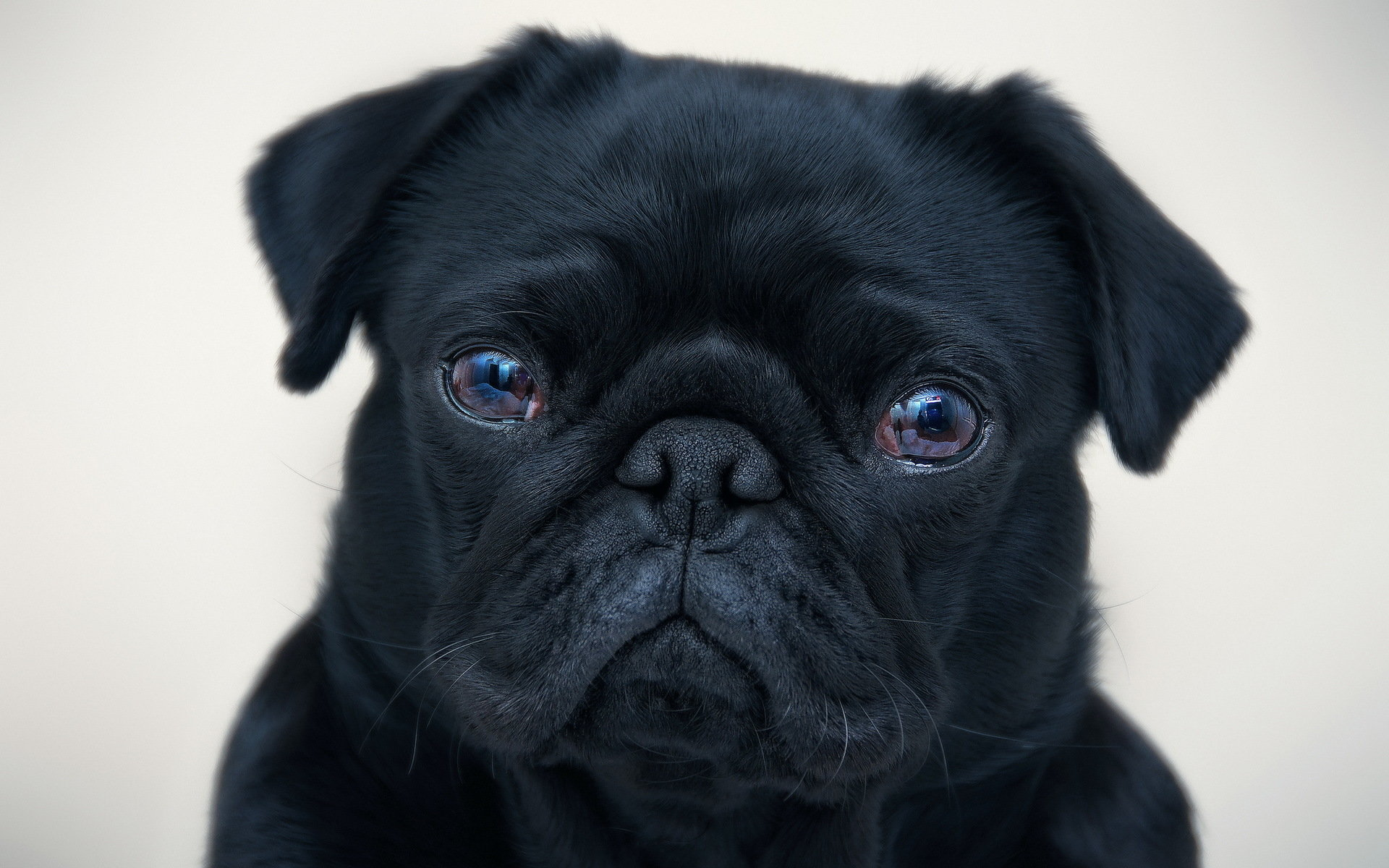 High resolution Pug hd 1920x1200 background ID:282849 for PC