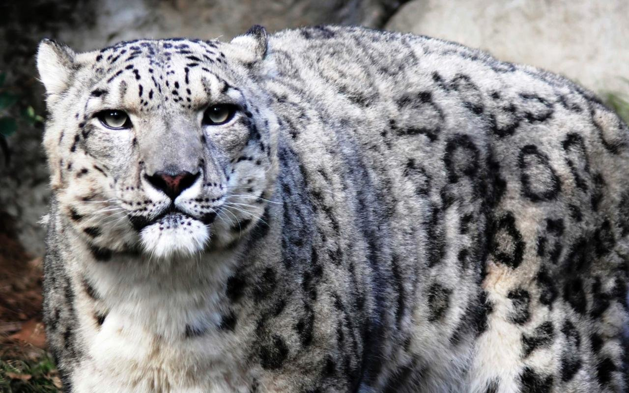 Free Snow Leopard high quality wallpaper ID:34299 for hd 1280x800 computer
