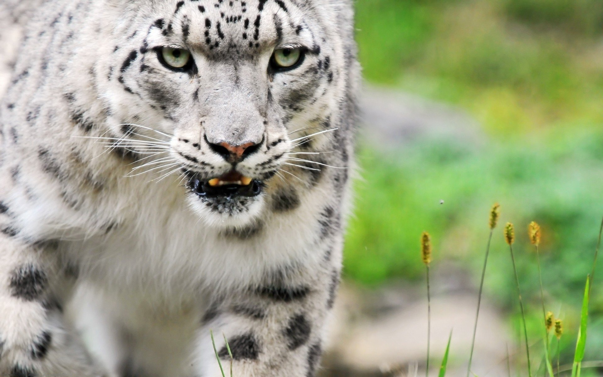 Free download Snow Leopard wallpaper ID:34510 hd 1920x1200 for computer
