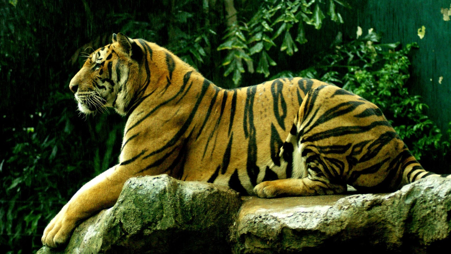Free download Tiger background ID:116119 hd 1920x1080 for desktop