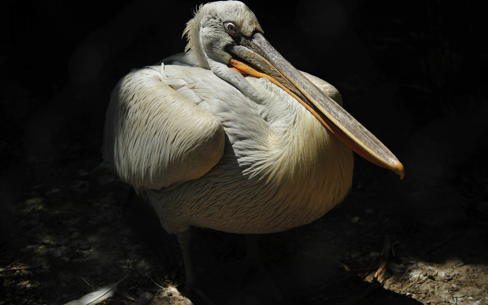 Best Pelican background ID:189531 for High Resolution hd 1920x1200 computer