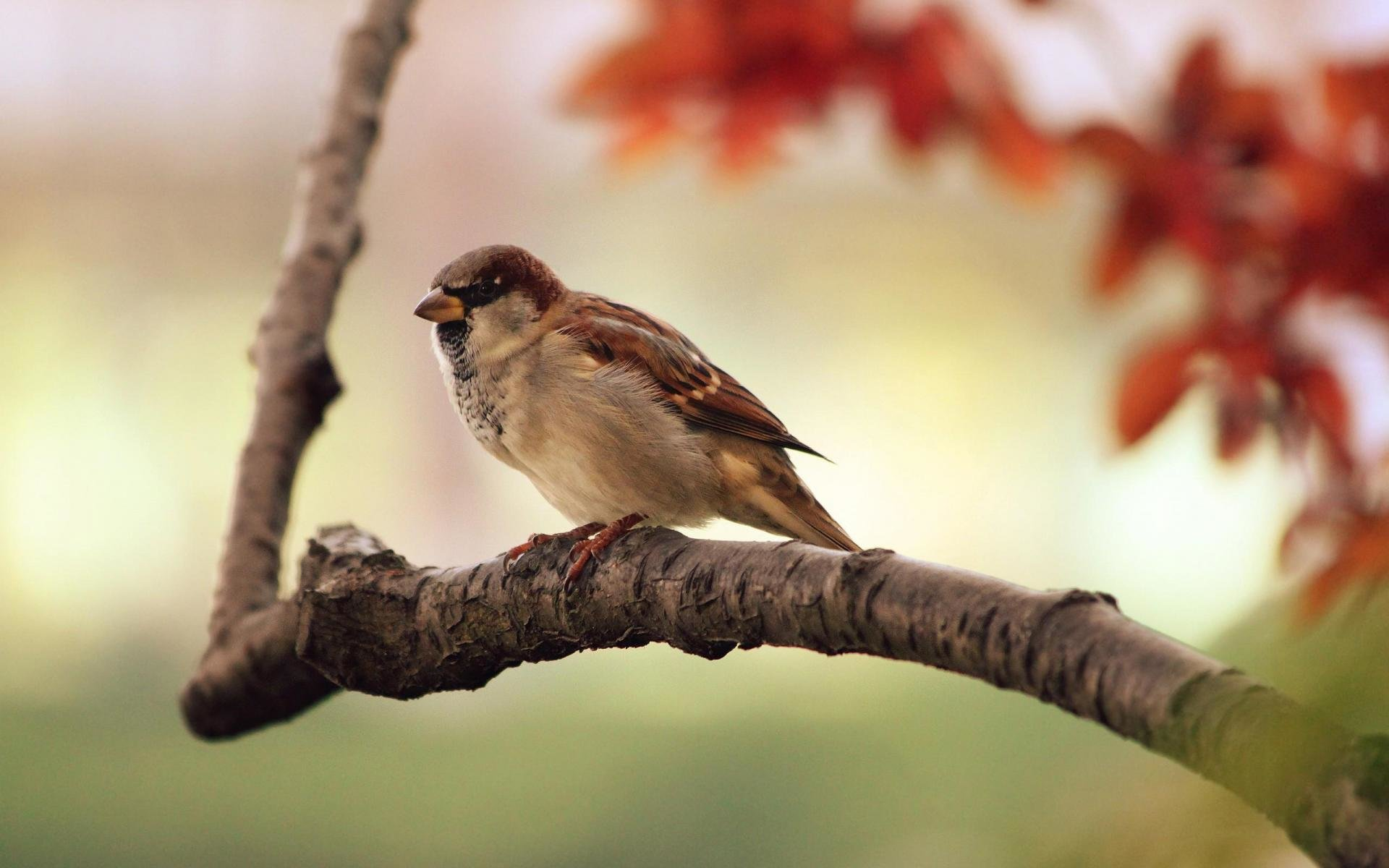 High resolution Sparrow hd 1920x1200 wallpaper ID:110720 for desktop