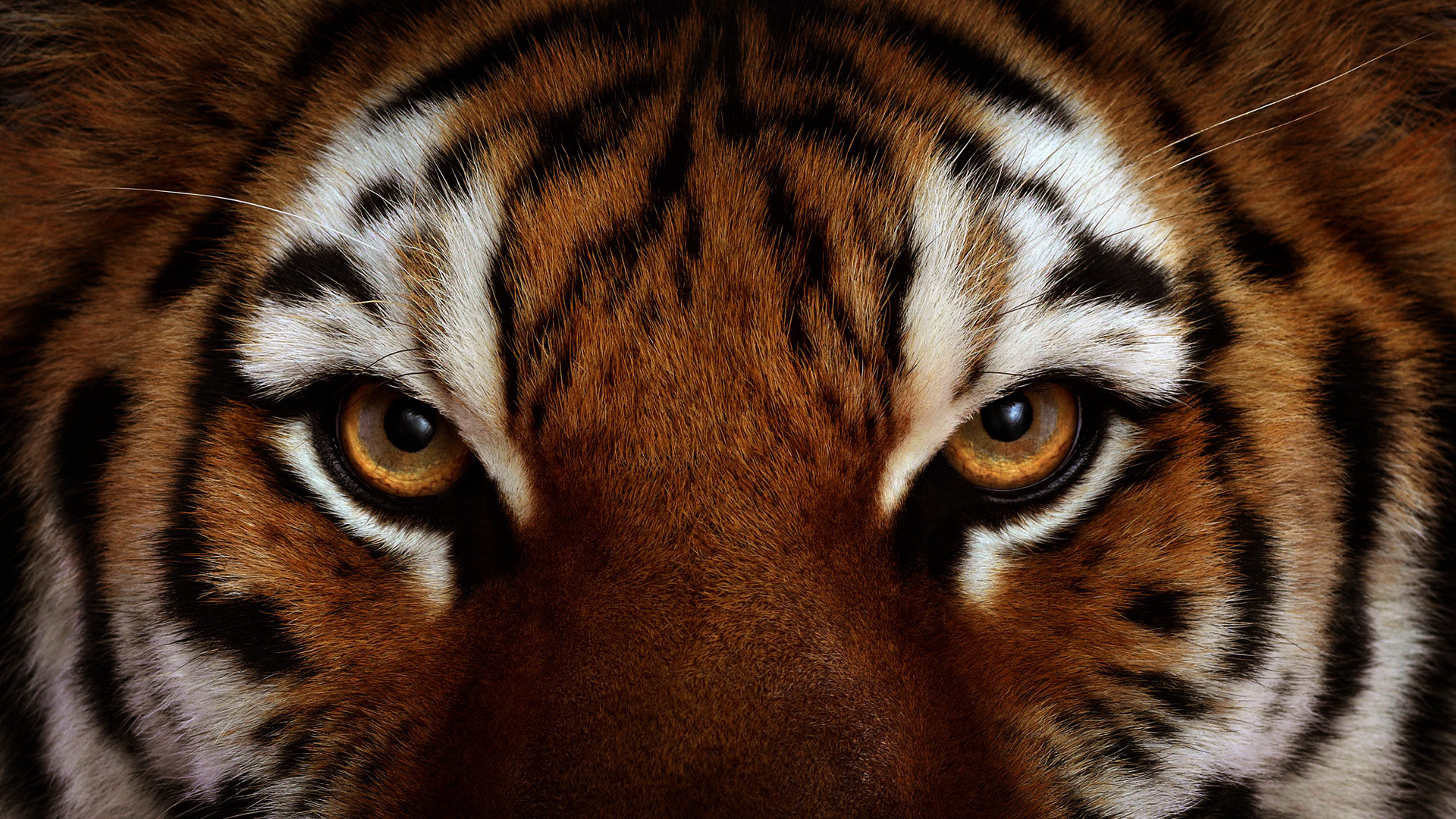 Awesome Tiger free background ID:115629 for 1080p computer