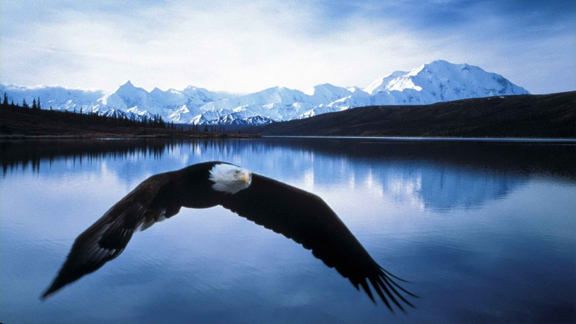 Awesome American Bald Eagle free background ID:68734 for full hd PC