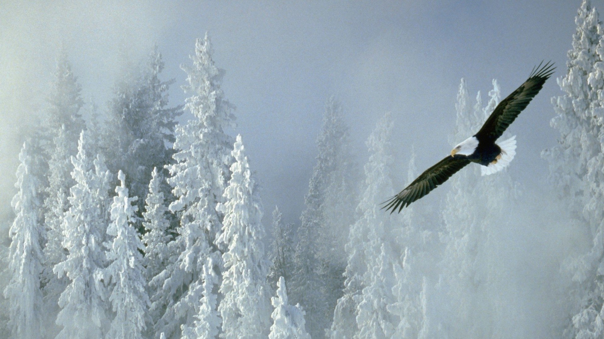 Awesome American Bald Eagle free wallpaper ID:68691 for hd 1080p desktop