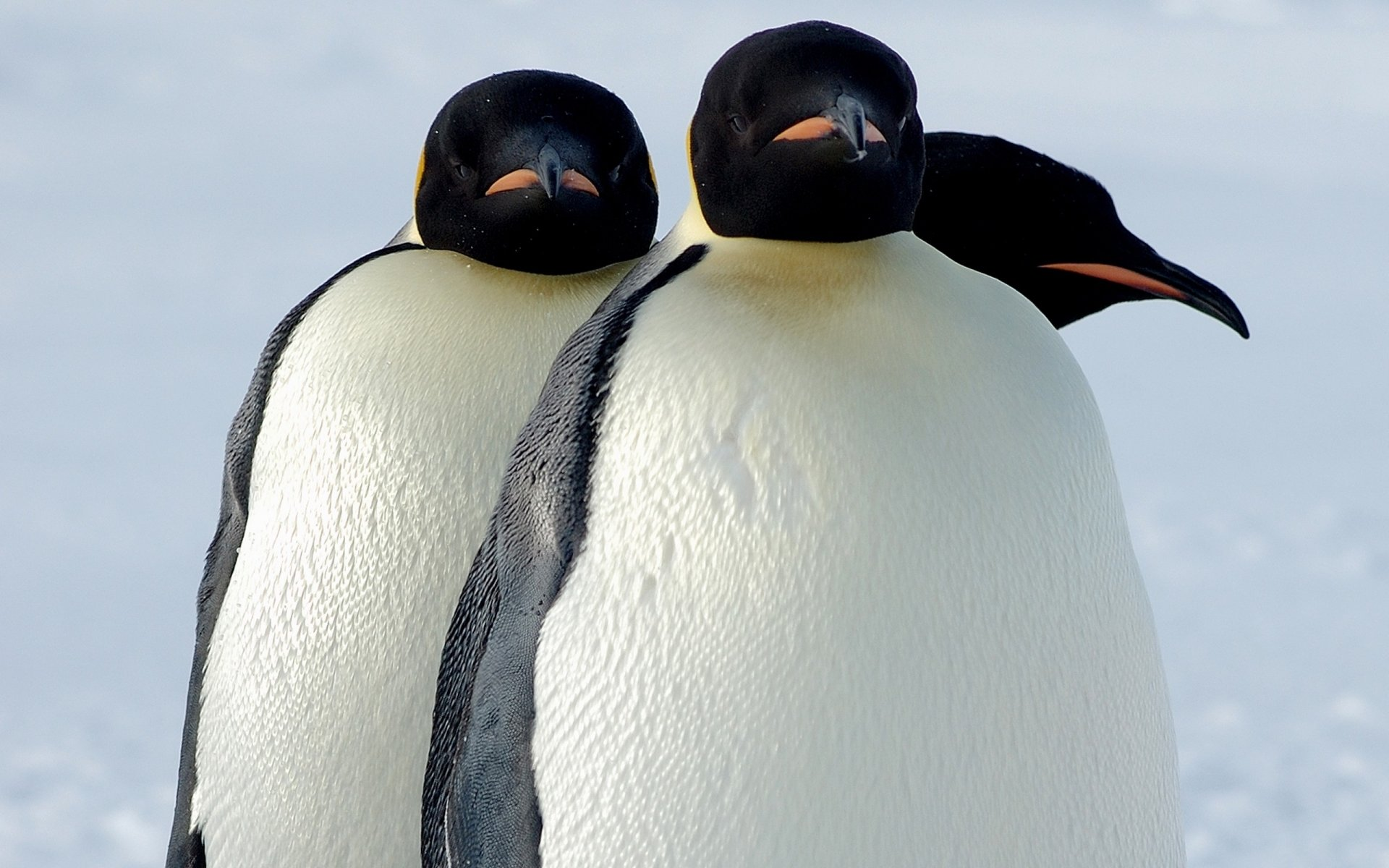Best Emperor Penguin background ID:47935 for High Resolution hd 1920x1200 desktop