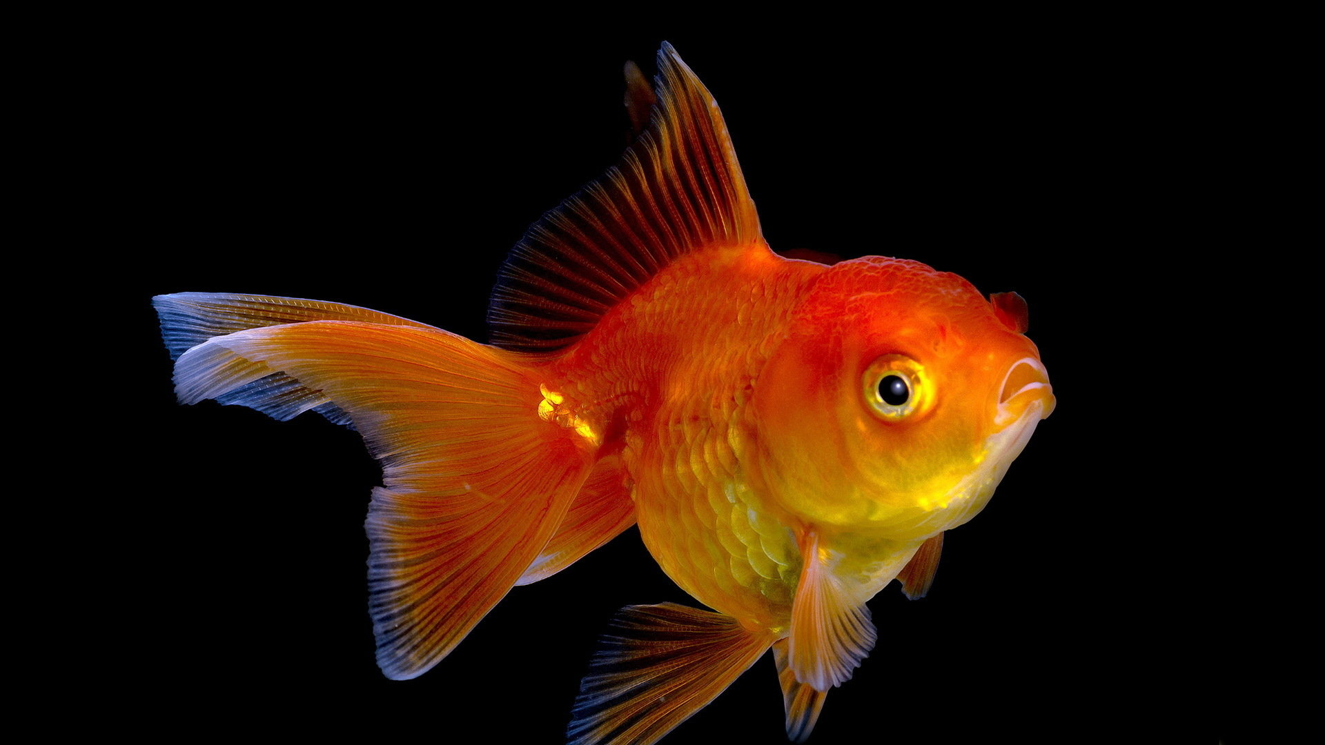 Best Goldfish wallpaper ID:464095 for High Resolution 1080p PC