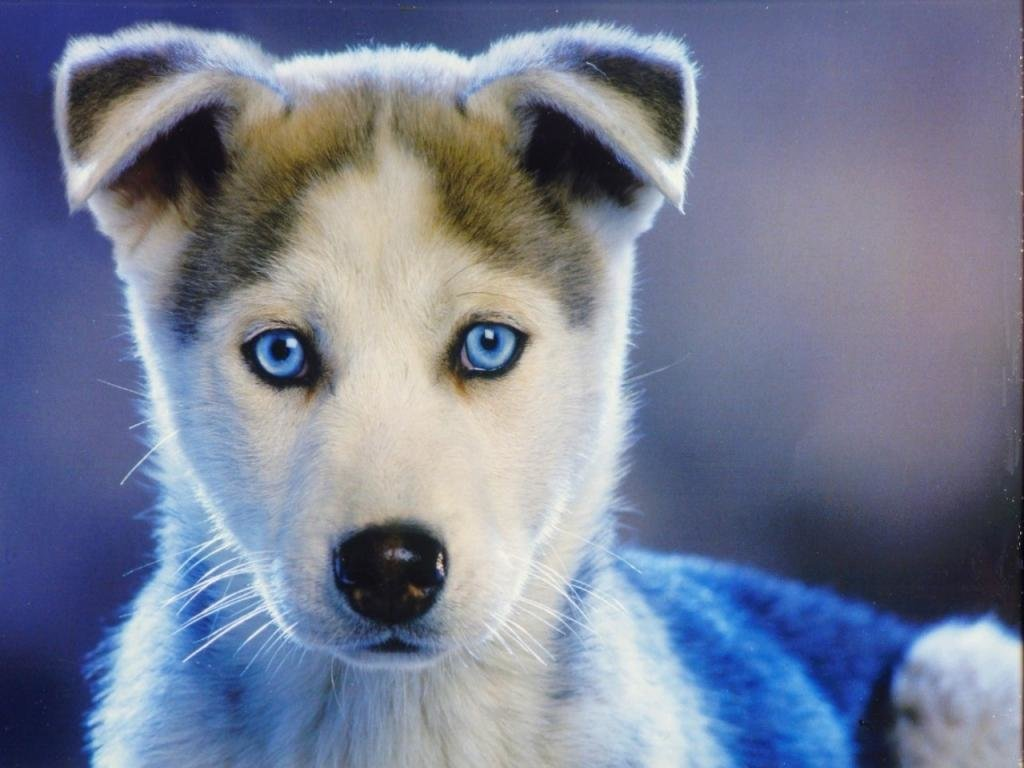 High resolution Husky hd 1024x768 wallpaper ID:198387 for PC