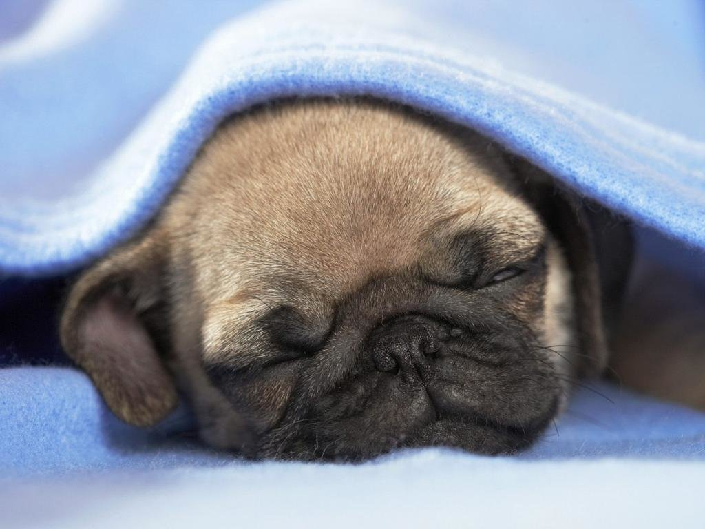 High resolution Pug hd 1024x768 wallpaper ID:282839 for PC