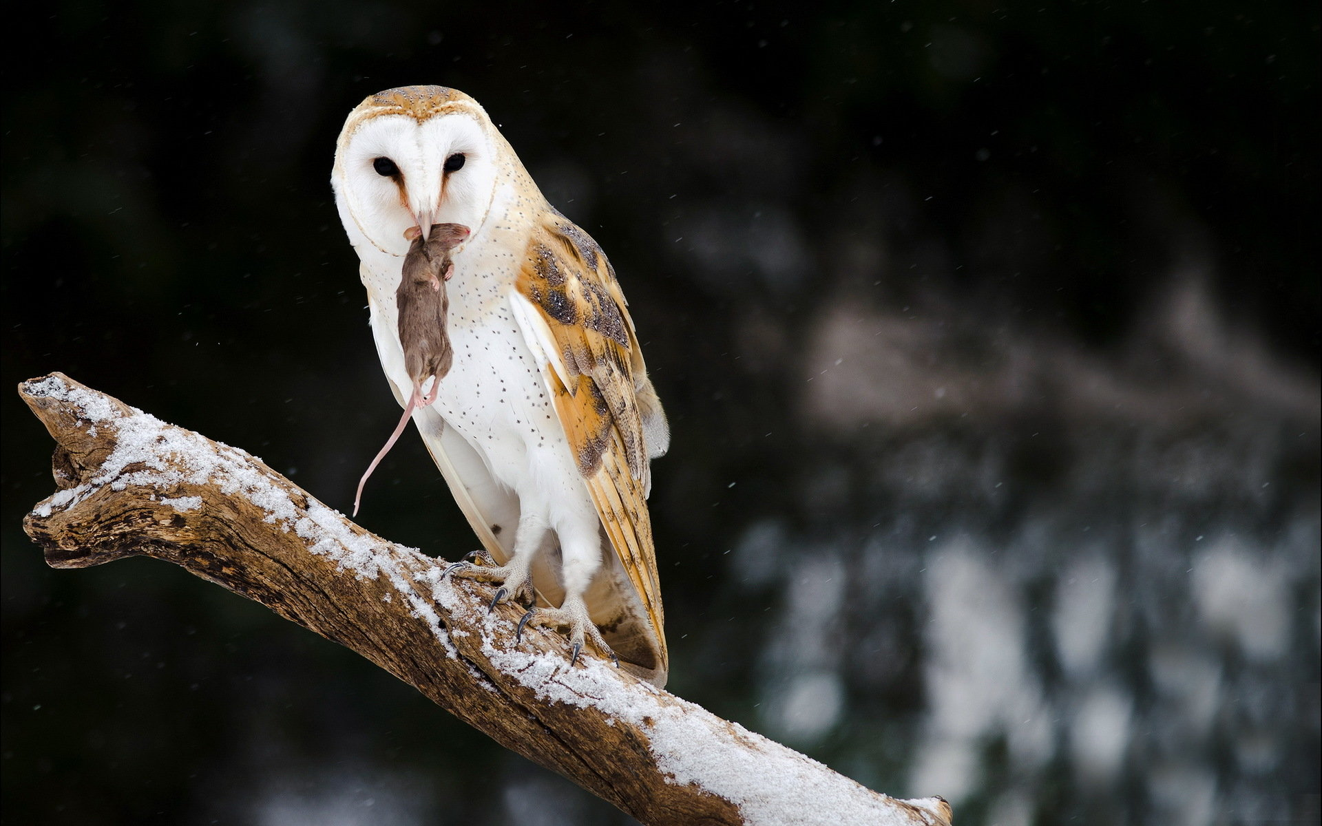 Awesome Barn Owl free background ID:81548 for hd 1920x1200 computer