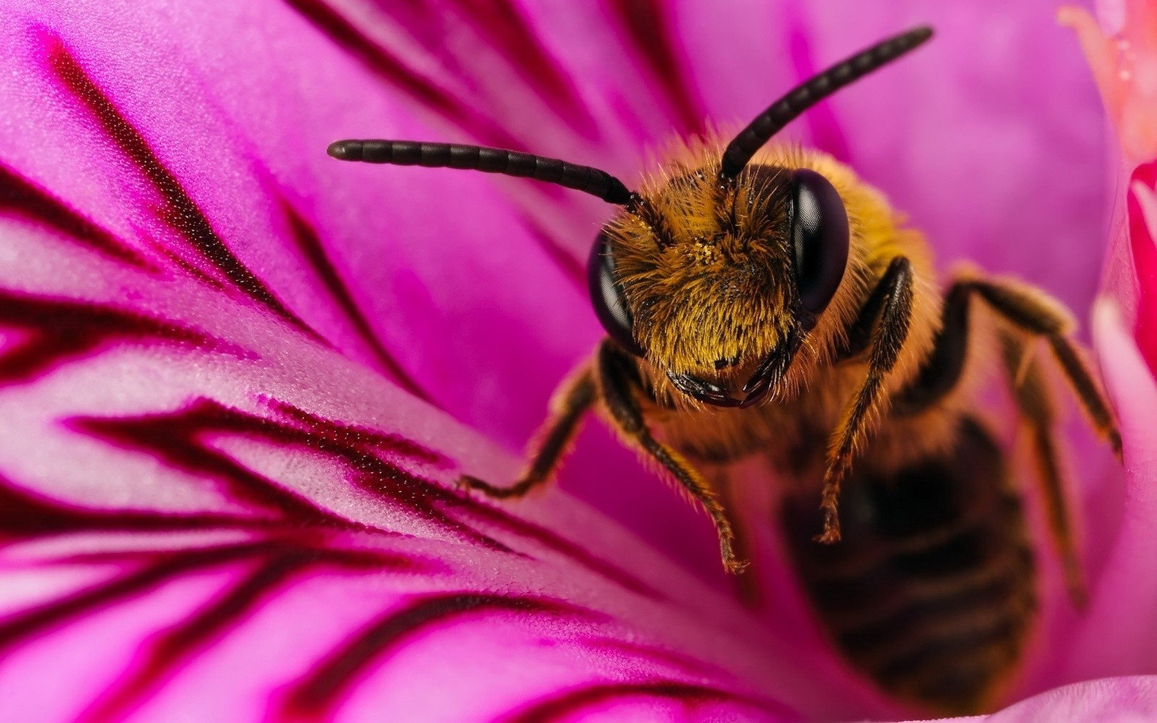 Download hd 1680x1050 Bee desktop wallpaper ID:460846 for free