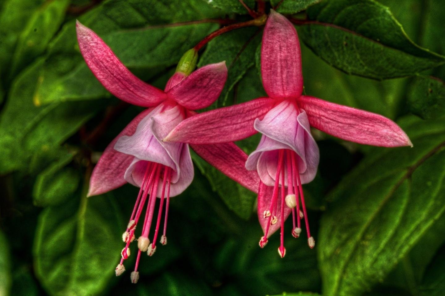 High resolution Fuchsia hd 1440x960 background ID:378285 for computer
