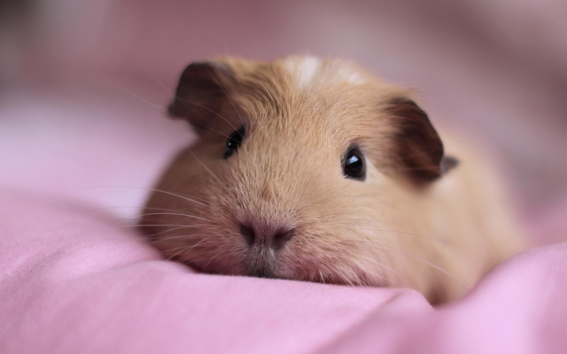 Awesome Guinea Pig free wallpaper ID:270952 for hd 1920x1200 desktop