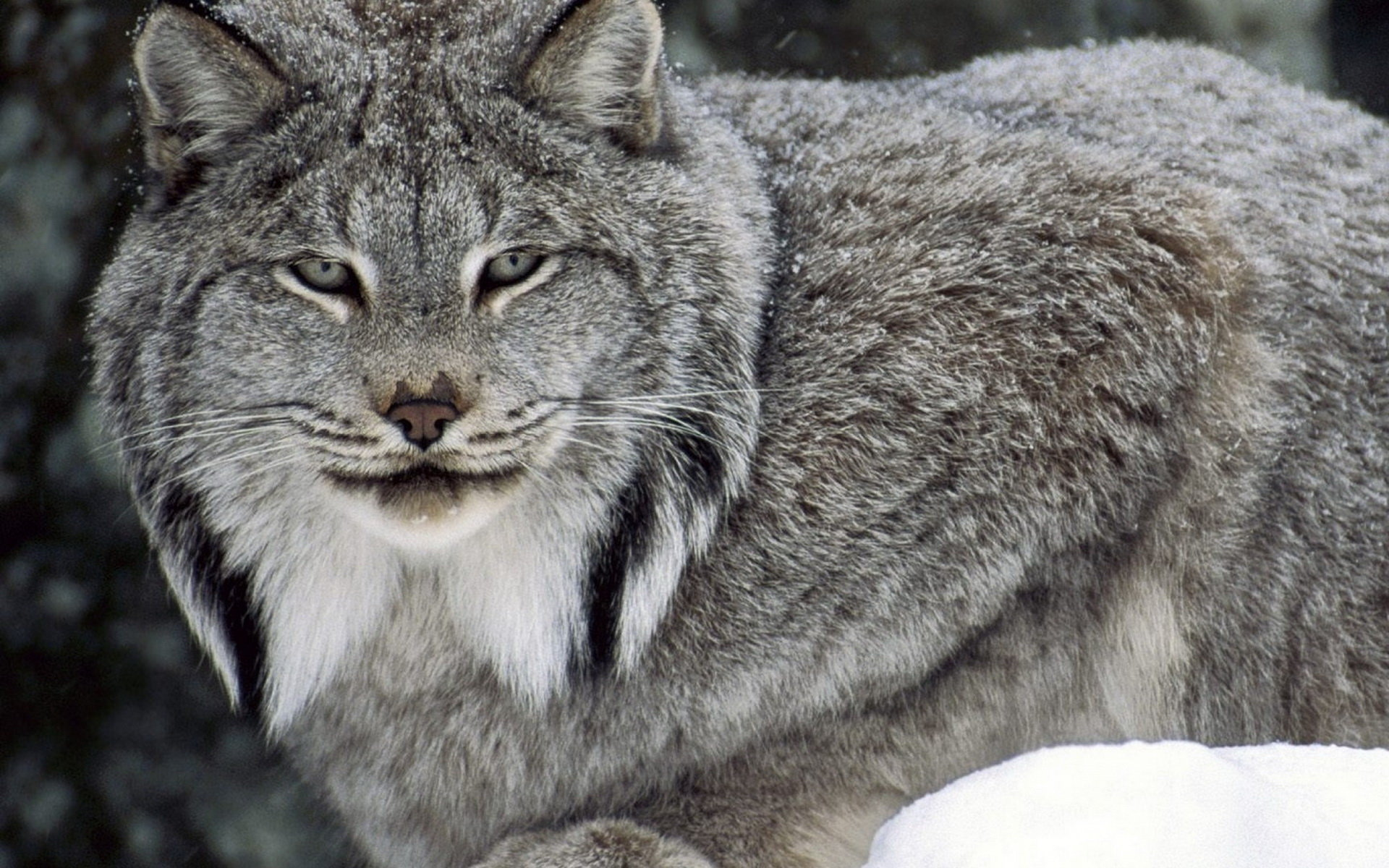 Download hd 1920x1200 Lynx computer background ID:105899 for free