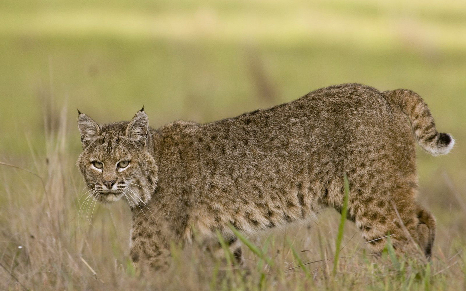 Best Bobcat wallpaper ID:191647 for High Resolution hd 1920x1200 desktop