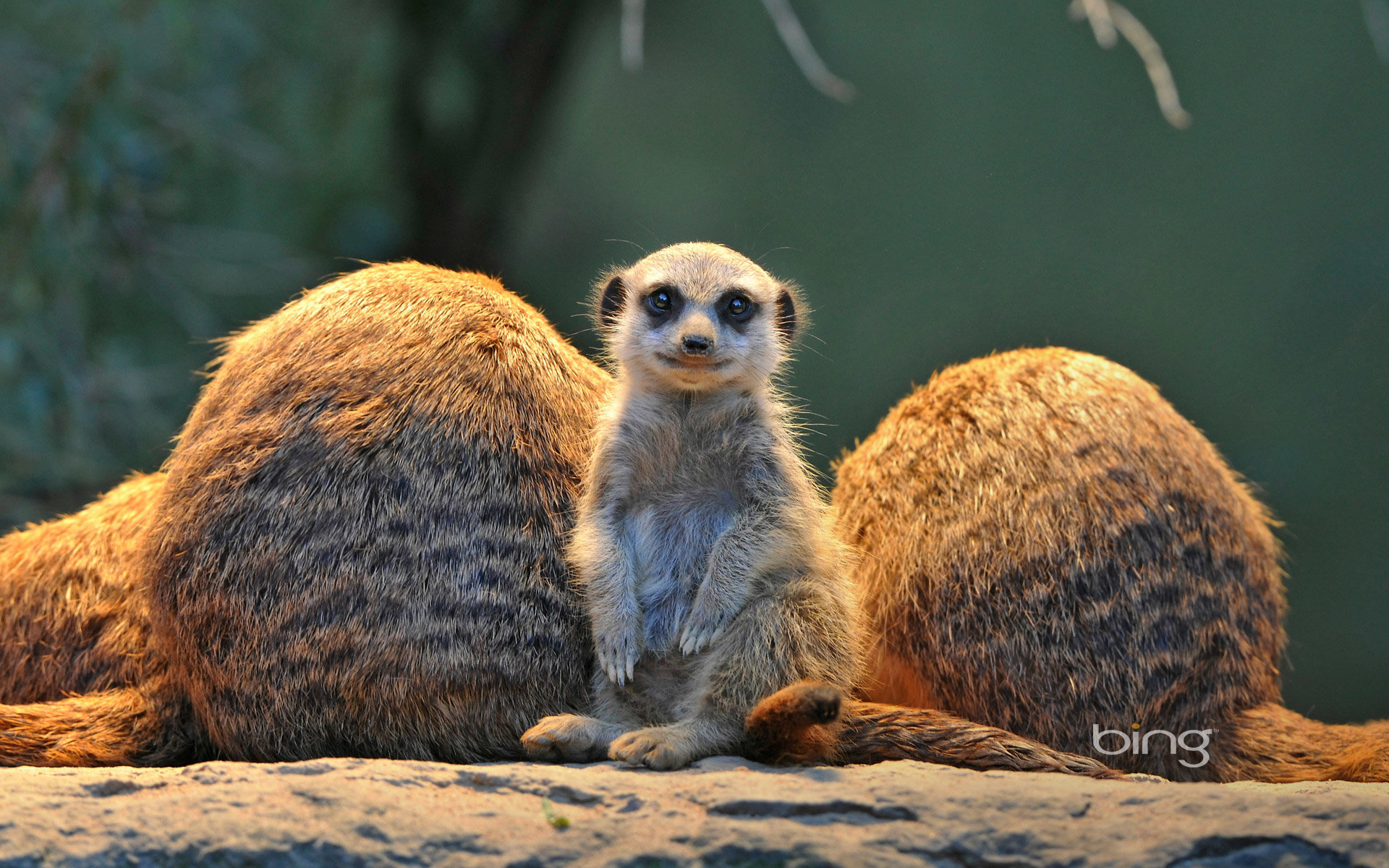 Download hd 1920x1200 Meerkat PC background ID:164545 for free