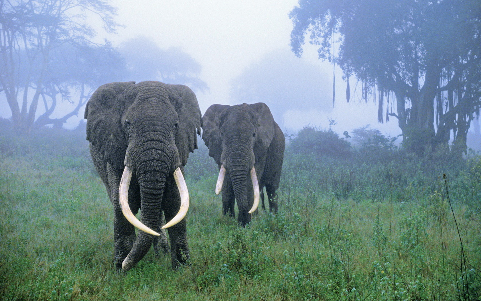 High resolution Elephant hd 1680x1050 wallpaper ID:132863 for PC
