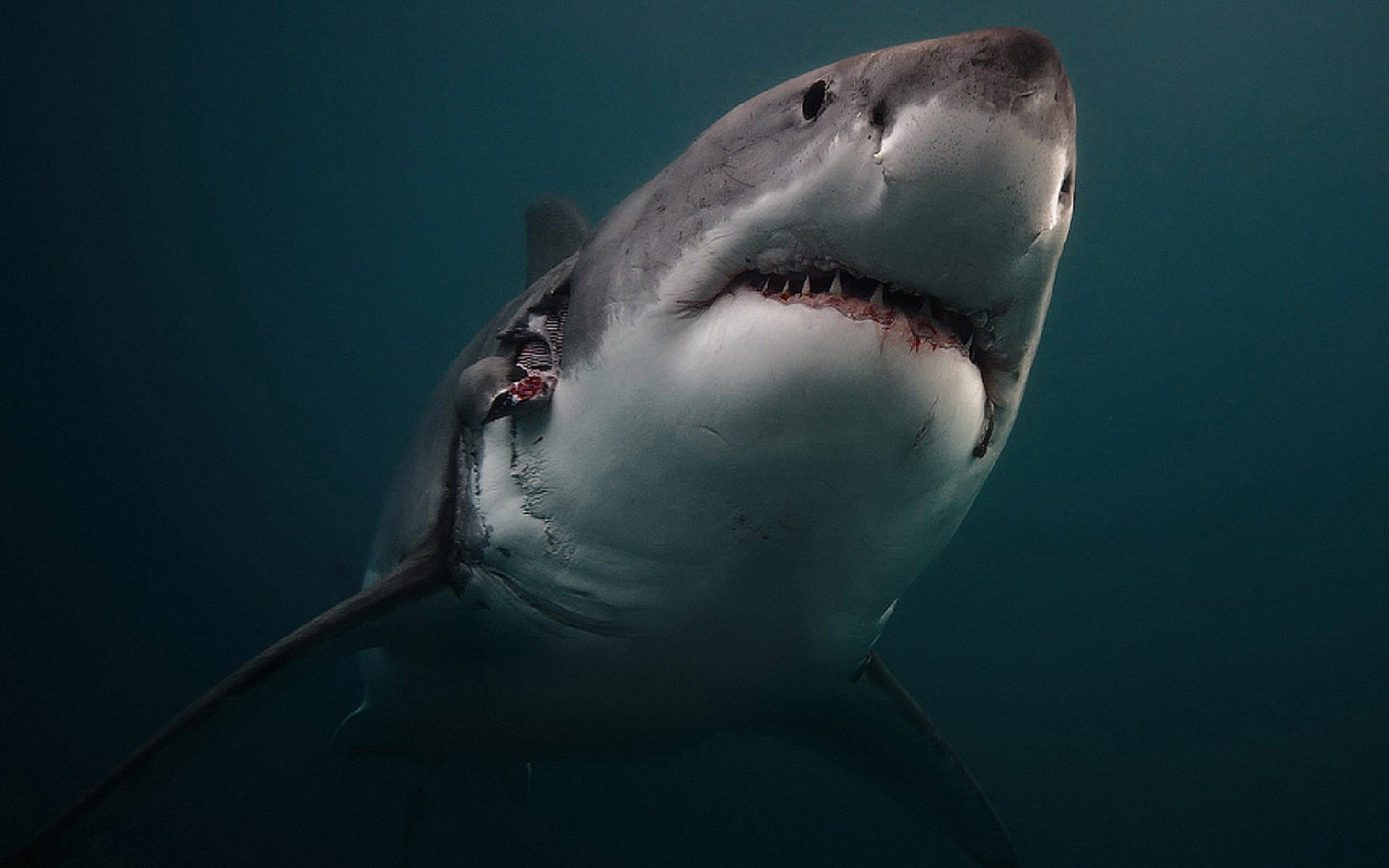 Best Great White Shark wallpaper ID:374683 for High Resolution hd 1680x1050 desktop