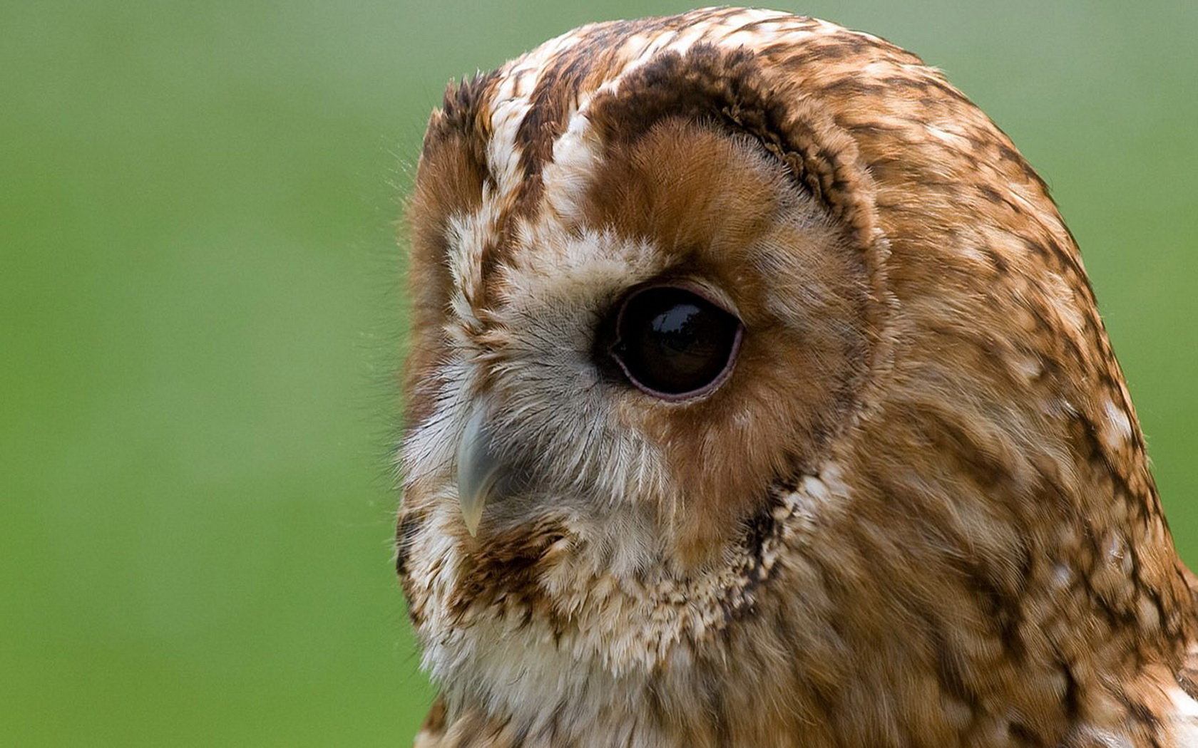 Free Owl high quality background ID:237472 for hd 1680x1050 PC