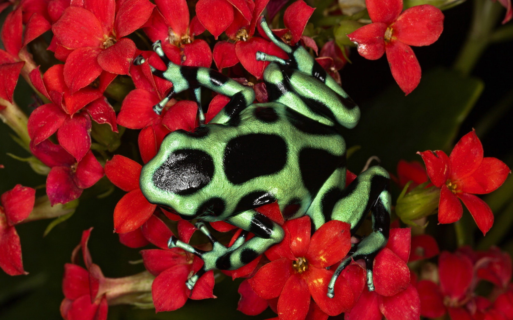 Awesome Poison Dart Frog free background ID:253491 for hd 1680x1050 desktop
