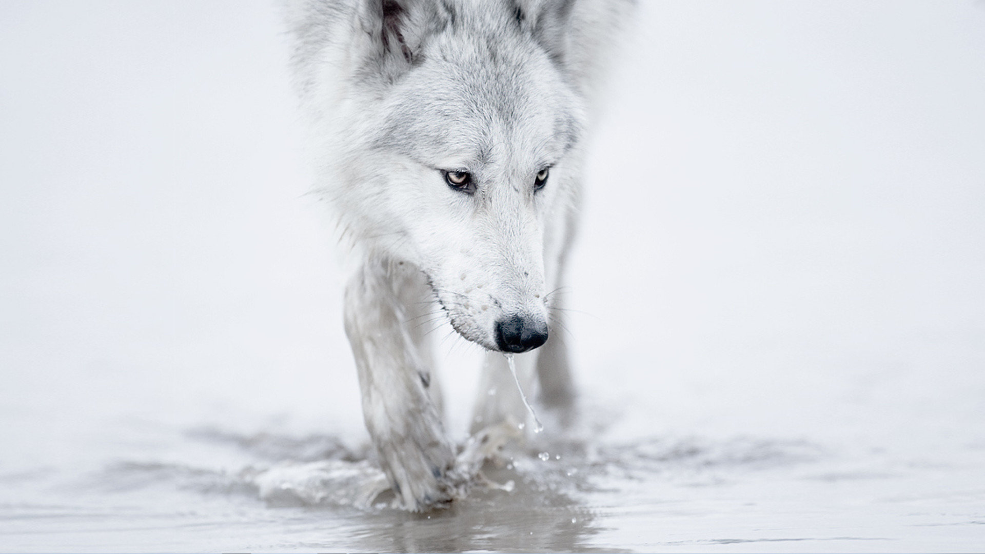 Download full hd Wolf computer background ID:117956 for free
