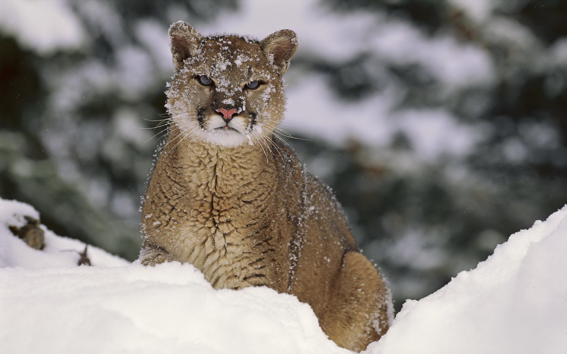 Awesome Cougar free background ID:81720 for hd 1920x1200 desktop