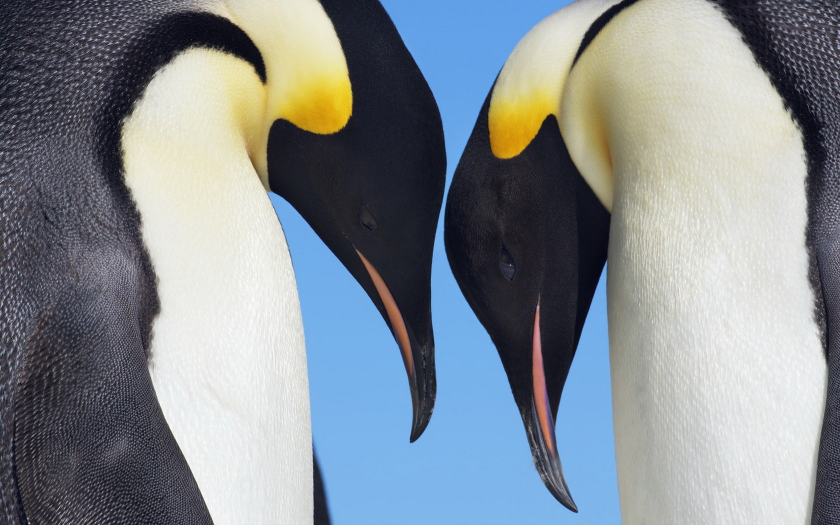 Free Emperor Penguin high quality wallpaper ID:47934 for hd 1680x1050 computer