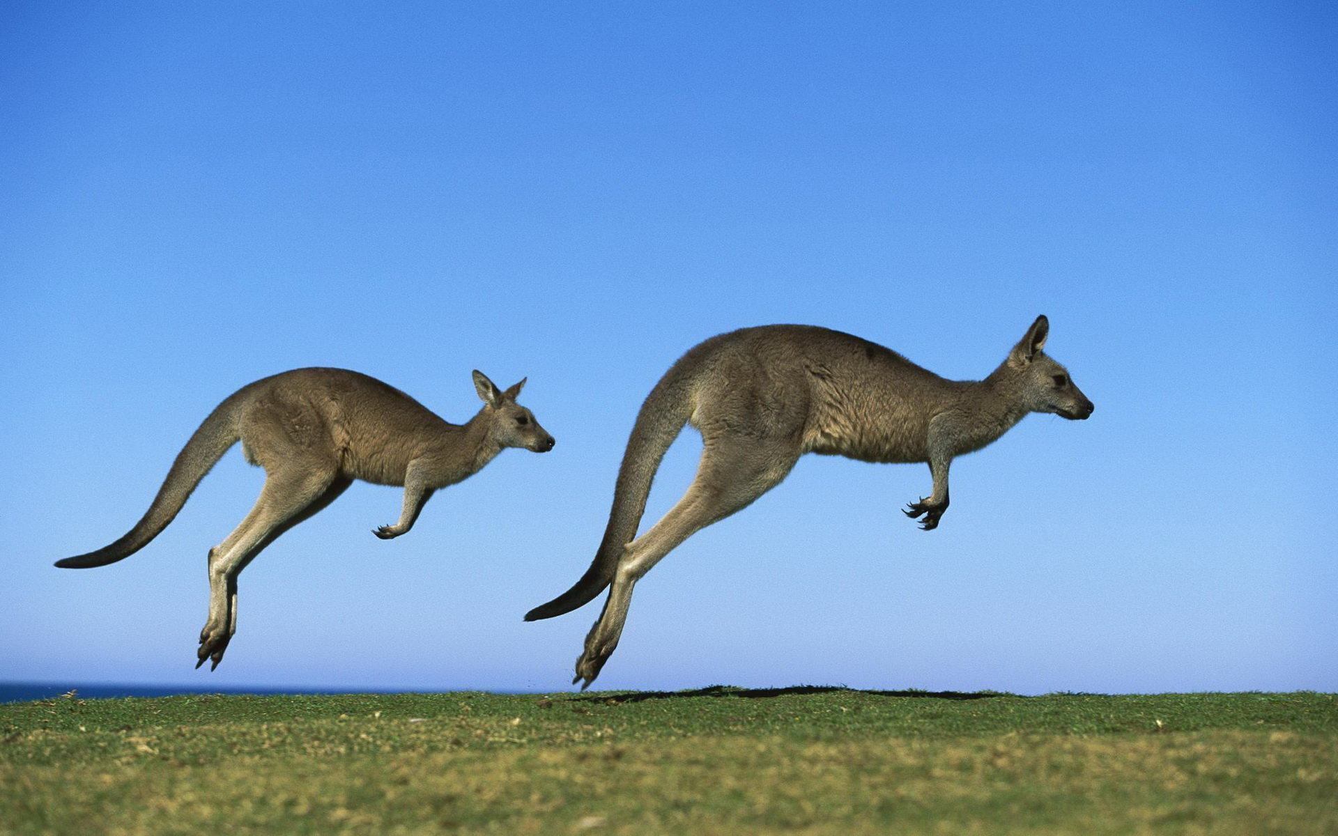 Awesome Kangaroo free background ID:122518 for hd 1920x1200 computer