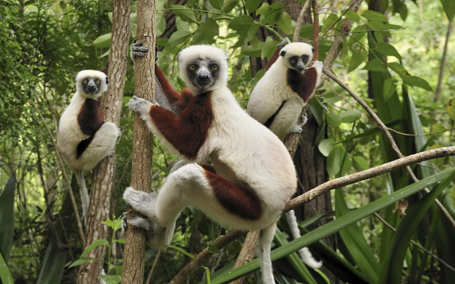 Download hd 1920x1200 Lemur desktop background ID:53220 for free