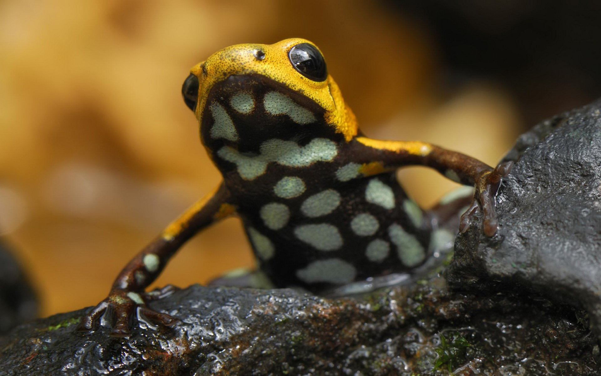 Best Poison Dart Frog background ID:253503 for High Resolution hd 1920x1200 PC