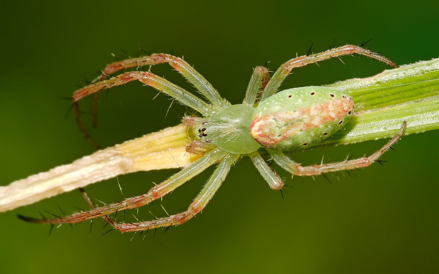 High resolution Spider hd 1440x900 background ID:22425 for PC