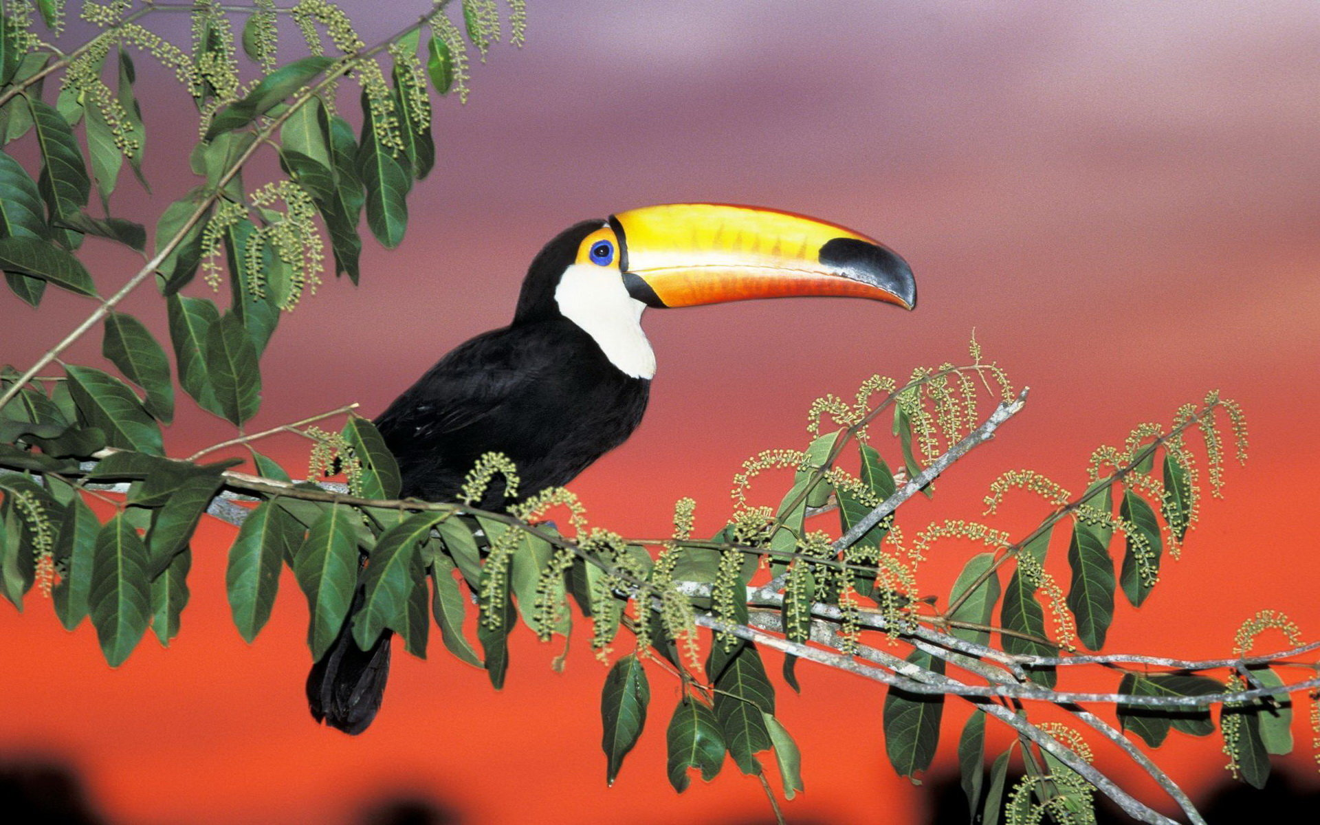 Free Toucan high quality background ID:57295 for hd 1920x1200 PC