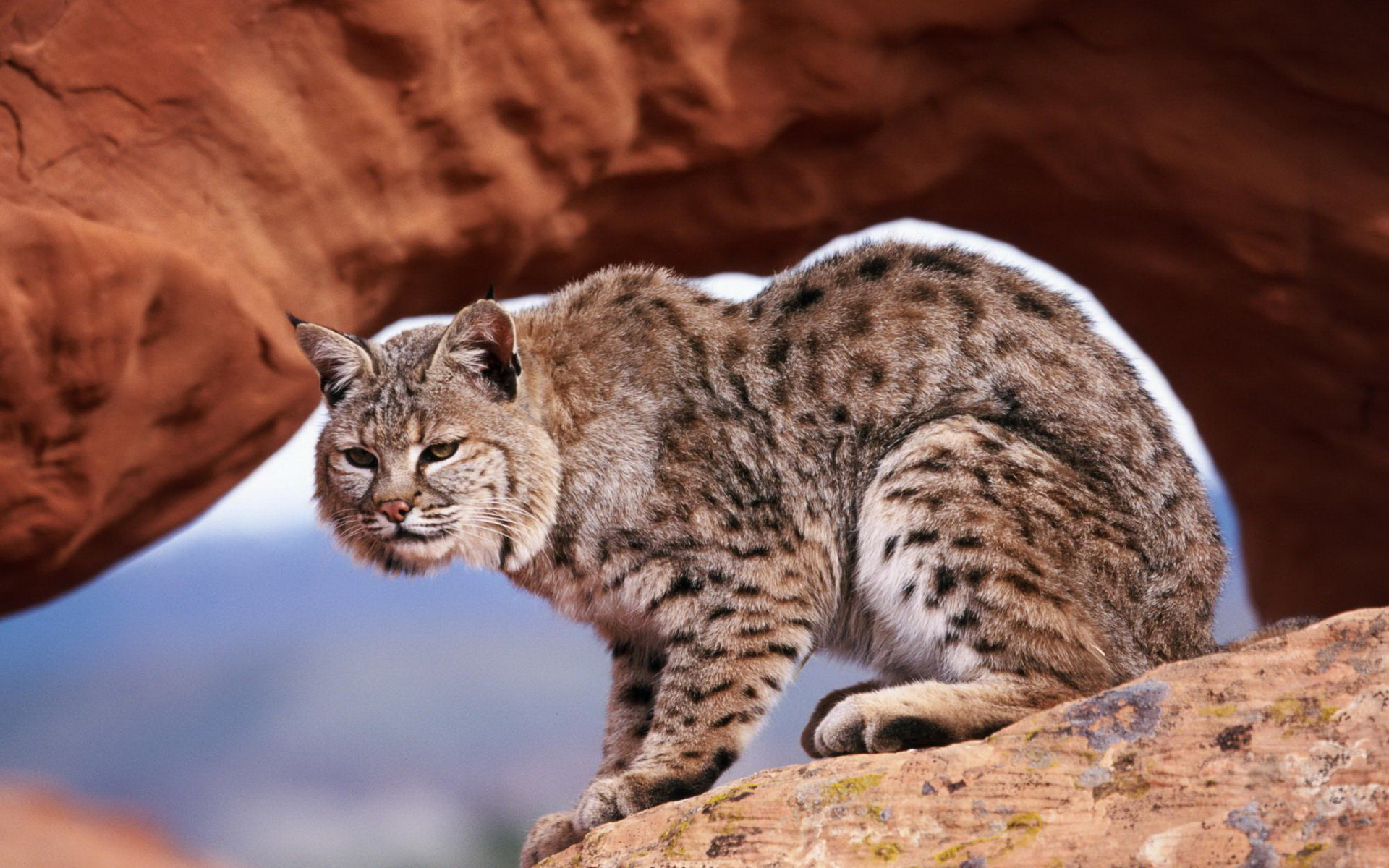 High resolution Bobcat hd 1920x1200 background ID:191642 for desktop