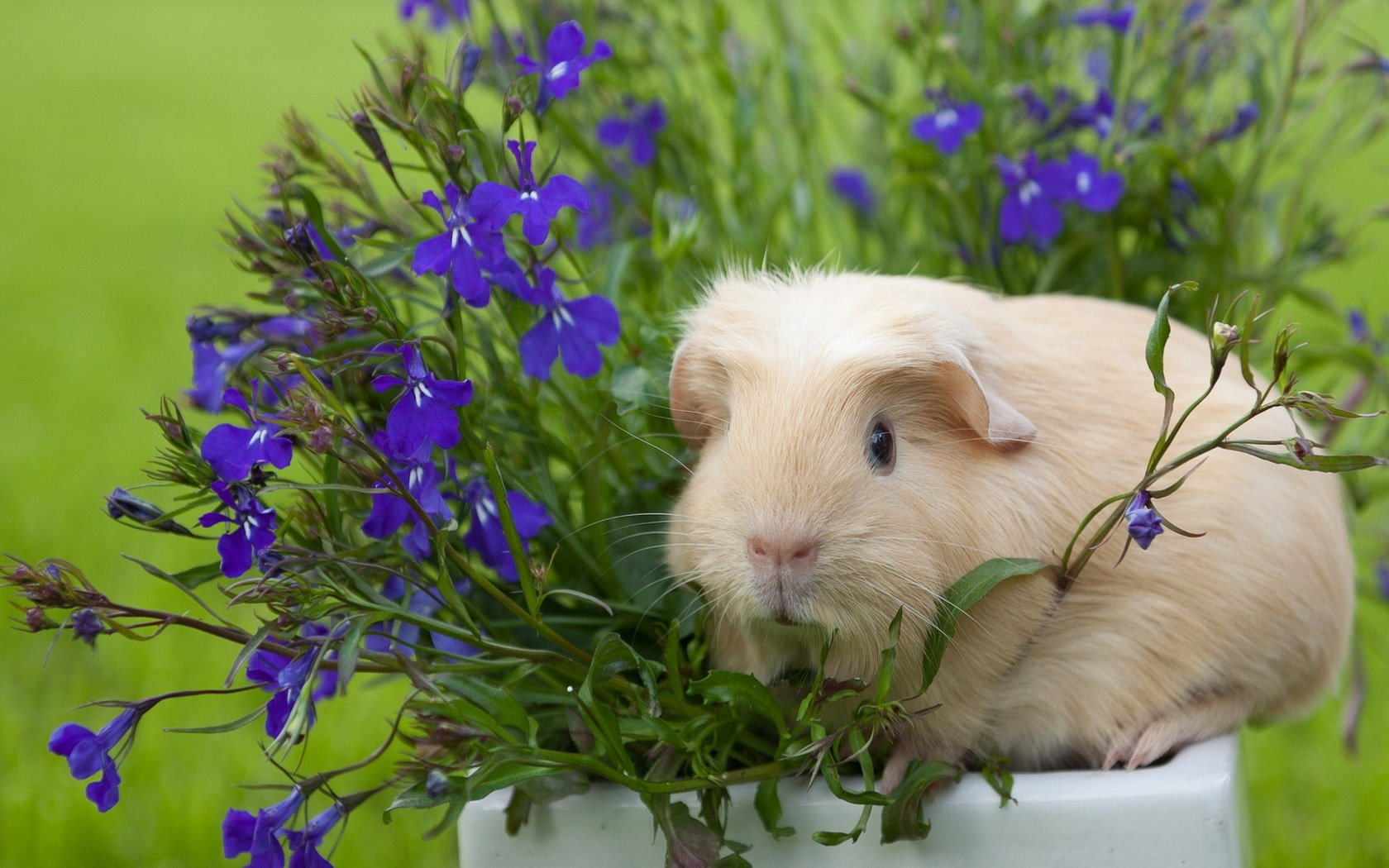 Free Guinea Pig high quality background ID:270979 for hd 1680x1050 desktop
