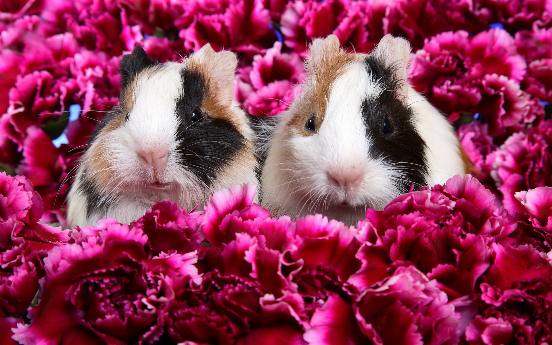 Download hd 1920x1200 Guinea Pig computer wallpaper ID:270980 for free