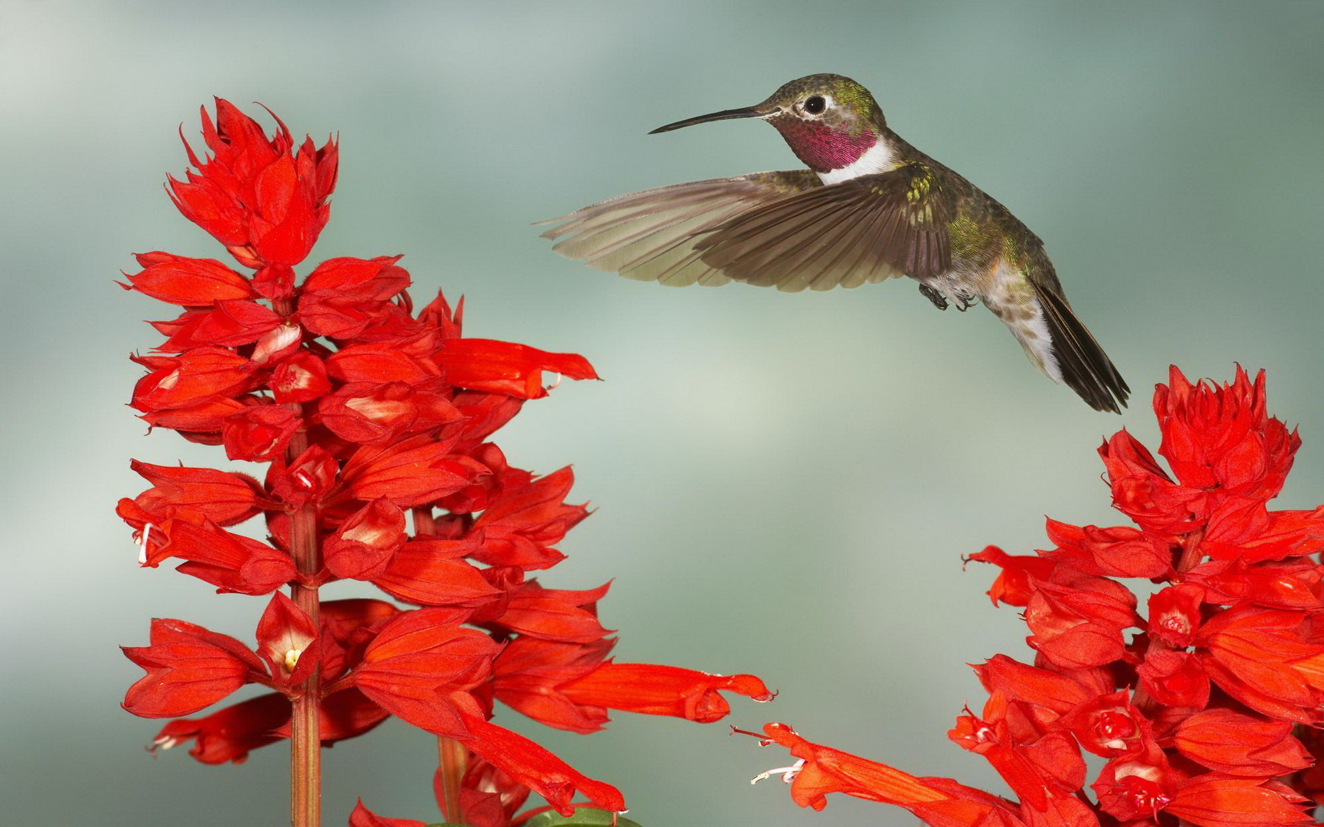 Free download Hummingbird wallpaper ID:215835 hd 1920x1200 for PC